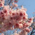 寒桜 kanzakura