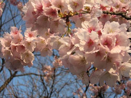 寒桜 Kanzakura2