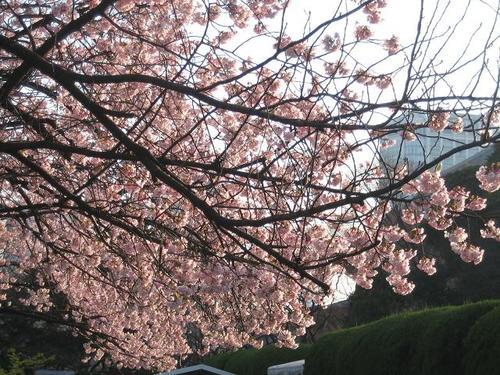 増上寺の寒桜