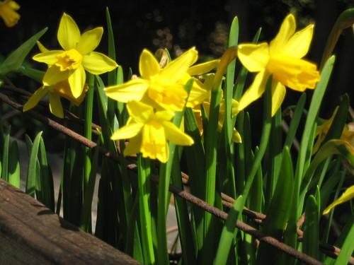 水仙 Narcissus