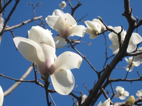 ハクモクレン Yulan magnolia