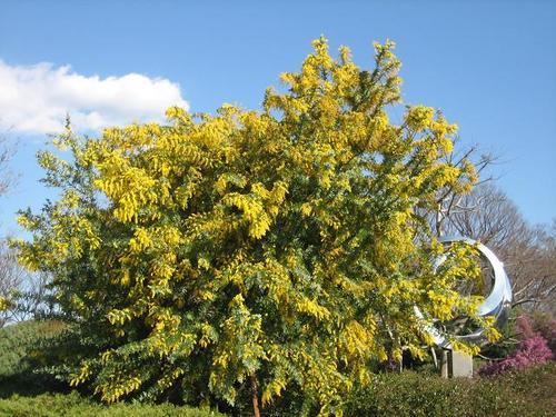 ミモザアカシア Mimosa acacia